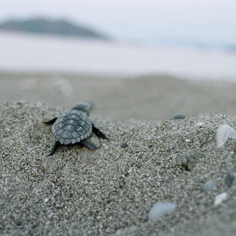 Mavi Indigo Turtle 4